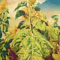 Yasushi Ikejiri, Sunflowers, 2015, 72.7×50 cm, Oil on Canvas