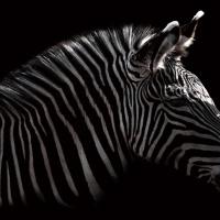 丹野徹「Subterranean -zebra-」